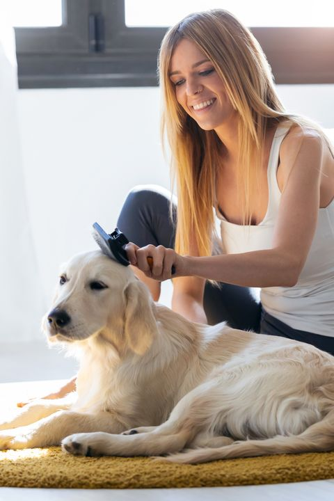 Dog breed, Dog, Carnivore, Comfort, Companion dog, Collar, Sporting Group, Blond, Working animal, Fawn,