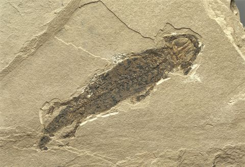Permian Fossil