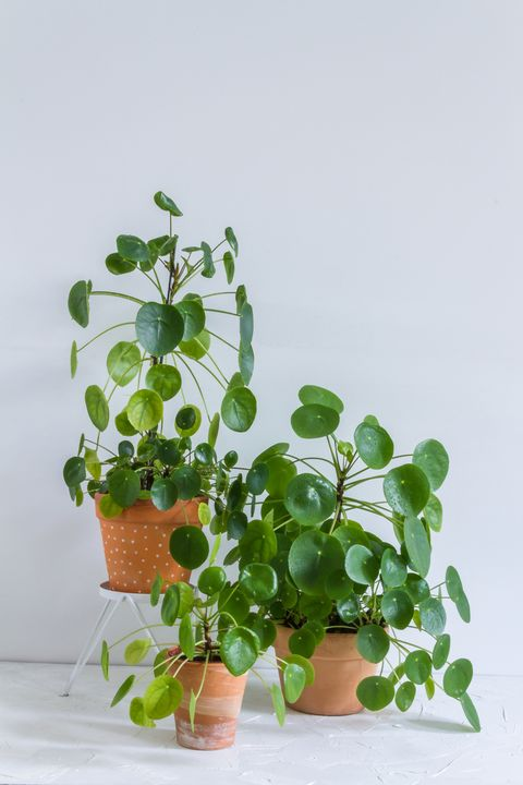 pilea peperomioides, money plants in the pot big plants with babies isolated white background