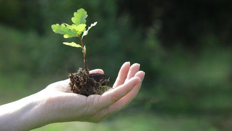 klein eikenboompje