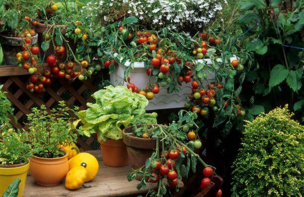 lycopersicon esculentum  tomate cerise tumbler  lactuca sativa  laitue  mentha sp  menthe