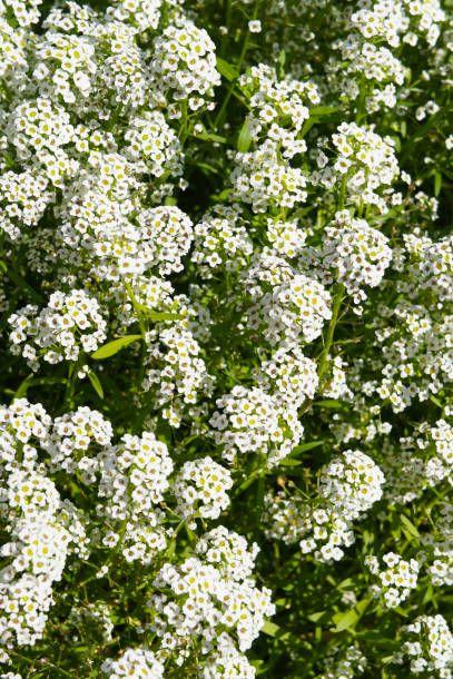 lobularia maritima silver stream many white flowers vertcial