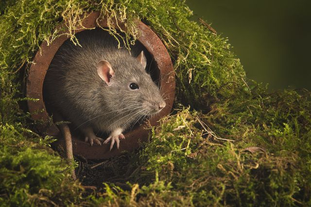 a close up portrait of a rat as it emerges from a drain pipe its head and paws are exposed as it looks out cautiously