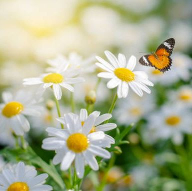 the yellow orange butterfly is on the white pink flowers in the green grass fields