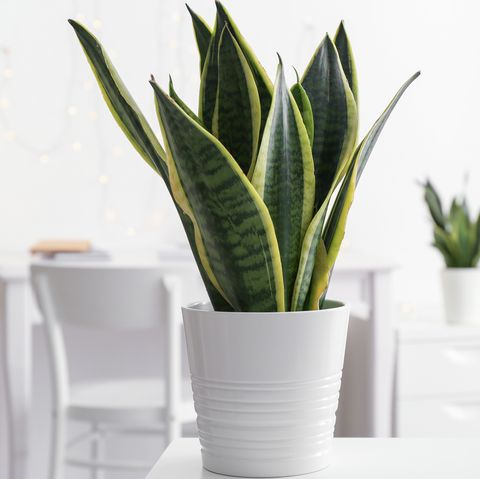 sansevieria plant in pot on table