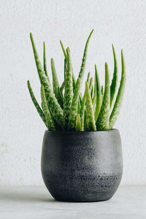 aloe vera plant in design modern pot and white wall mock up minimalistic stylish interior, home decor, natural skin therapy concept, copy space