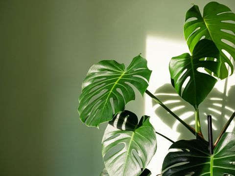 close up of big leaves of monstera deliciosa palm in bright lit against green wall the hurricane or swiss cheese plant