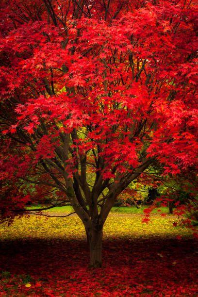 Rouge et jaune, érable rouge japonais, Herefordshire, Angleterre