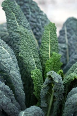 a variety of cabbage that does not head out the leaves are wavy on the edge, round shape, green kale leaves closeup