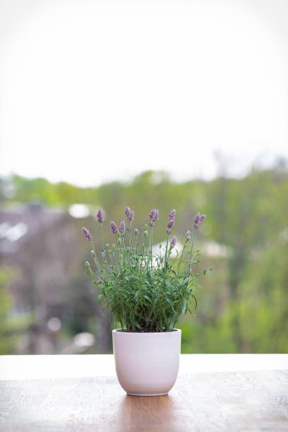 a healthy lavender on a plant pot with its upright flower spikes, green foliage and shrub like form would make a good accent for any rooms at home lavender is commonly used for its aromatic and medicinal properties
