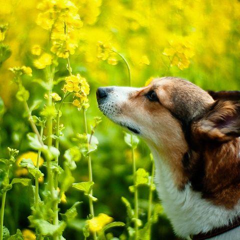 dog rapeseed
