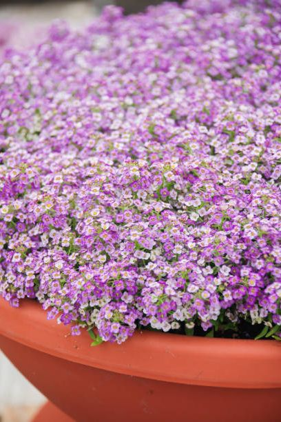 alyssum flowers alyssum in sweet colors alyssum in a red brown pot on wood table, in a dense grounding in a greenhouse