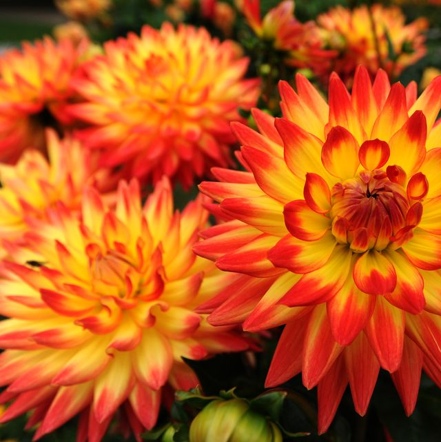 Fall Garden Tips: 25 Best Fall Flowers For An Autumn Garden