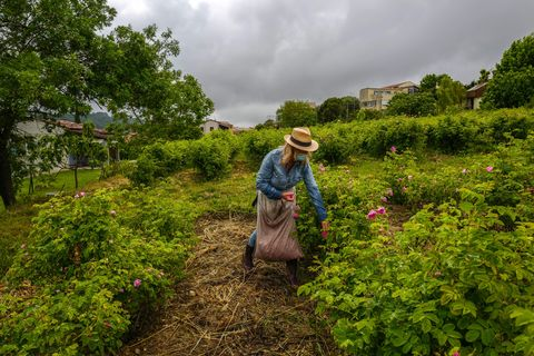 a worker looks at bushes during the picking of centifolia roses for perfumery christian dior, at domaine de manon in grasse, southern france, on may 14, 2020   may roses are blooming in grasse, the birthplace of french perfumes, but out in the fields, some of those who pick them face a problem this year working with a mask and not smelling, the flowers, is pretty frustrating, horticulturist carole biancalana acknowledges photo by valery hache  afp photo by valery hache afp via getty images