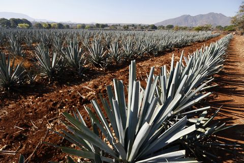 amatitan, mexico   may 15 fields of blue agave weber azul considered by unesco, as a cultural heritage of humanity, are seen on may 15, 2020 in amatitan, mexico unlike beer, tequila production was considered essential and distilleries continue to work during the pandemic exports to the united states in april increased 60 photo by refugio ruizgetty images