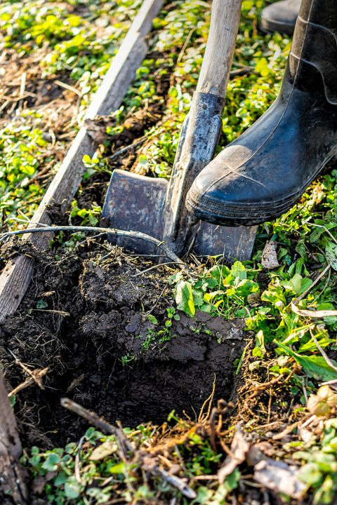 man people person working digging up dirt for vegetable winter garden post raised bed cold frame in ukraine dacha and closeup of shovel spade