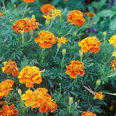 flower, flowering plant, tagetes, plant, tagetes patula, english marigold, zinnia angustifolia, petal, annual plant, subshrub,