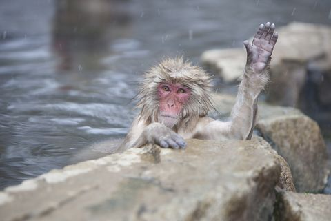 Japanese Macaque (Macaca fuscata) in hot springs, waving, Jigokudani Yaen-Koen, Japan
