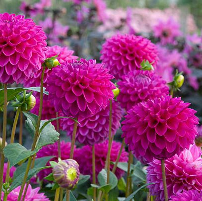 flower, flowering plant, plant, pink, dahlia, prince of wales feathers, petal, magenta, china aster, annual plant,