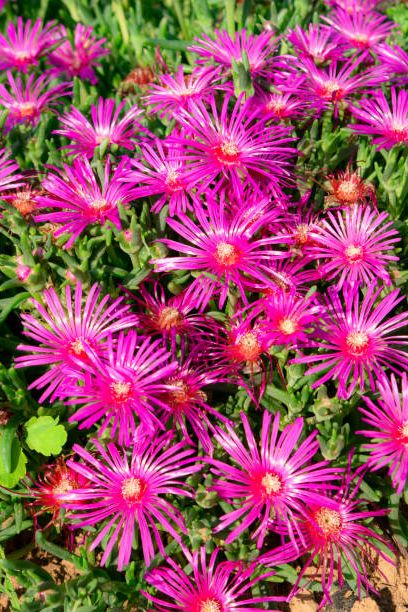 beautiful set of purple flowers surrounded by peculiar green petals in a garden