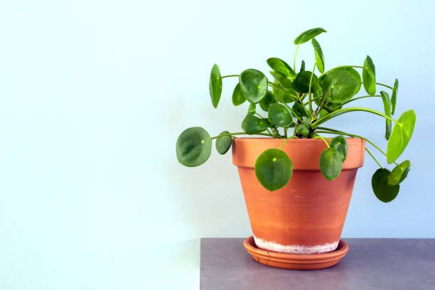 pilea peperomioides, chinese money plant, ufo plant or pancake plant in retro modern design home decoration close up