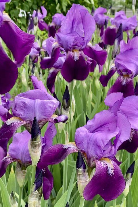 deep purple irises in bloom, so very regal looking