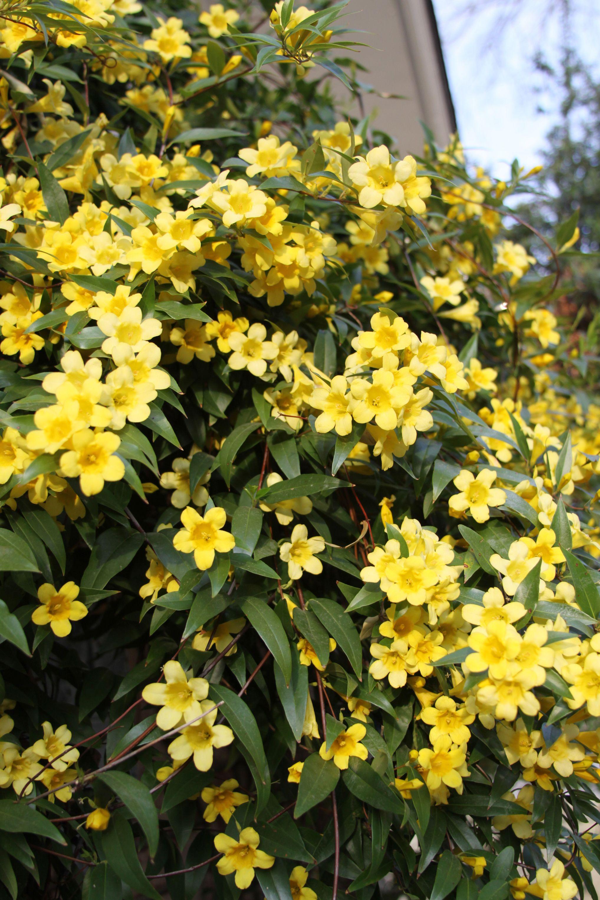 Carolina Jasmine- Yellow Flowers