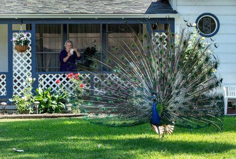 pasadena peacock