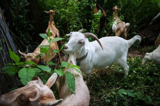 new york, ny   july 14 two dozen goats eat their way through riverside park as public viewing in manhattan of new york city, united states on july 14, 2021 photo by tayfun coskunanadolu agency via getty images