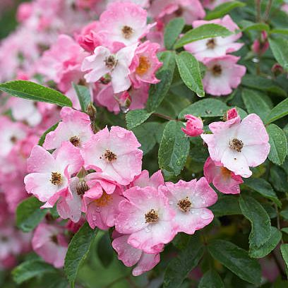 flower, flowering plant, plant, pink, petal, spring, begonia, four o'clock family, blossom, impatiens,