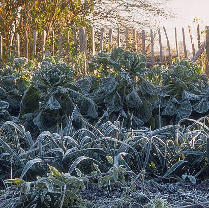frost on garden