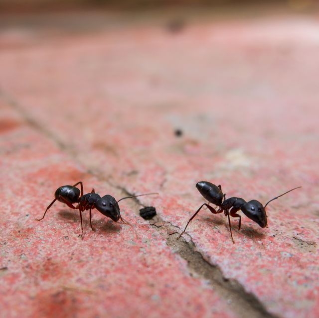 Reds Ants Vs Black Ants Top Differences And How To Kill Both