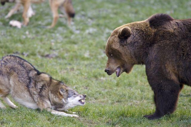 orso lupo, lupo attacca orso
