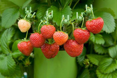 Fraise, fraises, baies, plantes, fruits, framboise antillaise, Frutti di bosco, nourriture, aliments naturels, fruits accessoires,