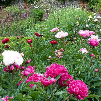 flower, flowering plant, plant, common peony, peony, petal, botany, chinese peony, garden, shrub,