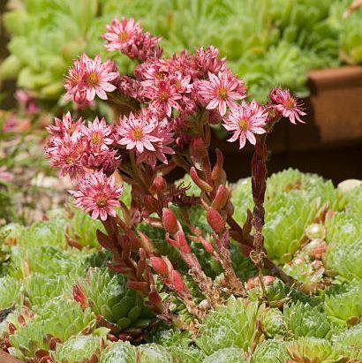 flower, plant, flowerpot, stonecrop family, houseplant, flowering plant, groundcover, annual plant, cactus, succulent plant,