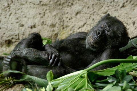 Vertebrate, Primate, Common chimpanzee, Terrestrial animal, Organism, Zoo, Adaptation, Wildlife,
