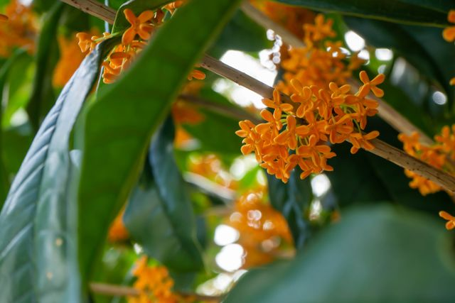close up of kanagi 犀 with small orange flowers in full bloom