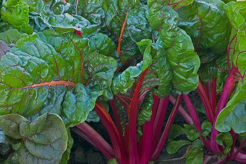 Chard, Leaf vegetable, Beet greens, Vegetable, Flower, Plant, Sorrel, Food, Rhubarb, Spring greens,