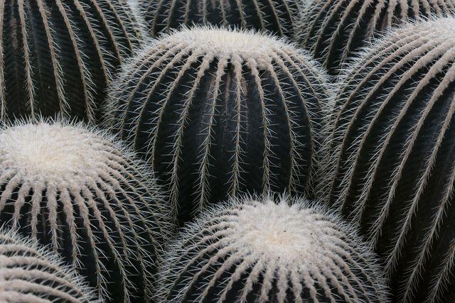 close up of golden barrel cacti