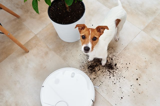 plant soil on the floor and sad dog looking at camera pet damage concept robot vacuum cleaner clean floor