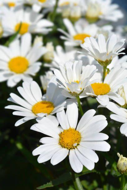 shasta daisy flowers   latin name   leucanthemum maximum