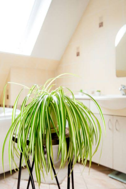 chlorophytum comosum, called spider plant or airplane plant growing in white pot in bright white bathroom great air purifying plant
