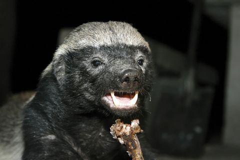 Snout, Terrestrial animal, Fur, Eye, Fisher, Honey badger, Wildlife, Carnivore, Whiskers,