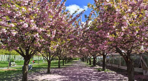 two rows of blooming cherry trees at the brooklyn botanical gardens in brooklyn, ny