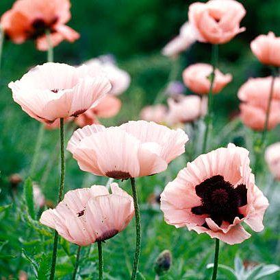 flower, oriental poppy, petal, plant, flowering plant, pink, wildflower, spring, poppy family, meadow,