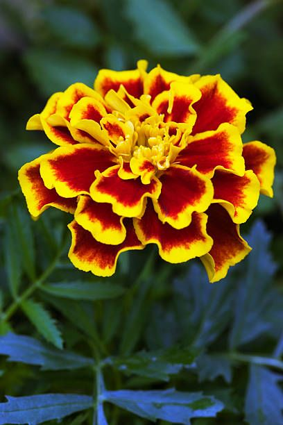 french marigold close up