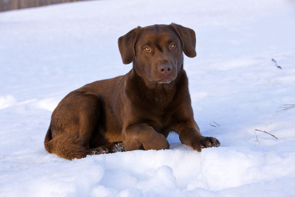 ¿Los perros labrador de color chocolate viven menos?
