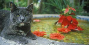 Hemingway Cat