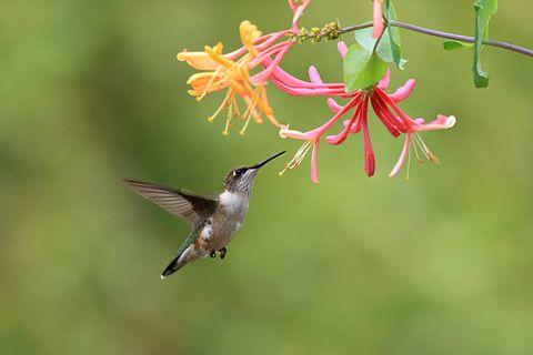 female ruby throated hummingbird feeding on honeysuckle flowers